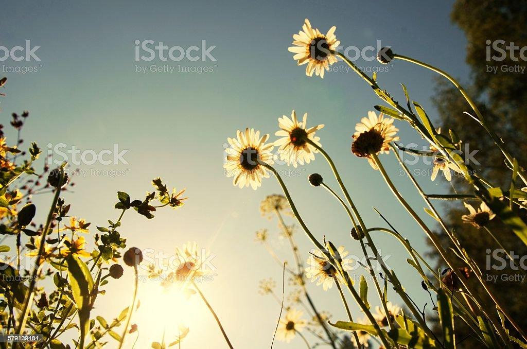 White camomile in green grass, blue sky, sun stock photo