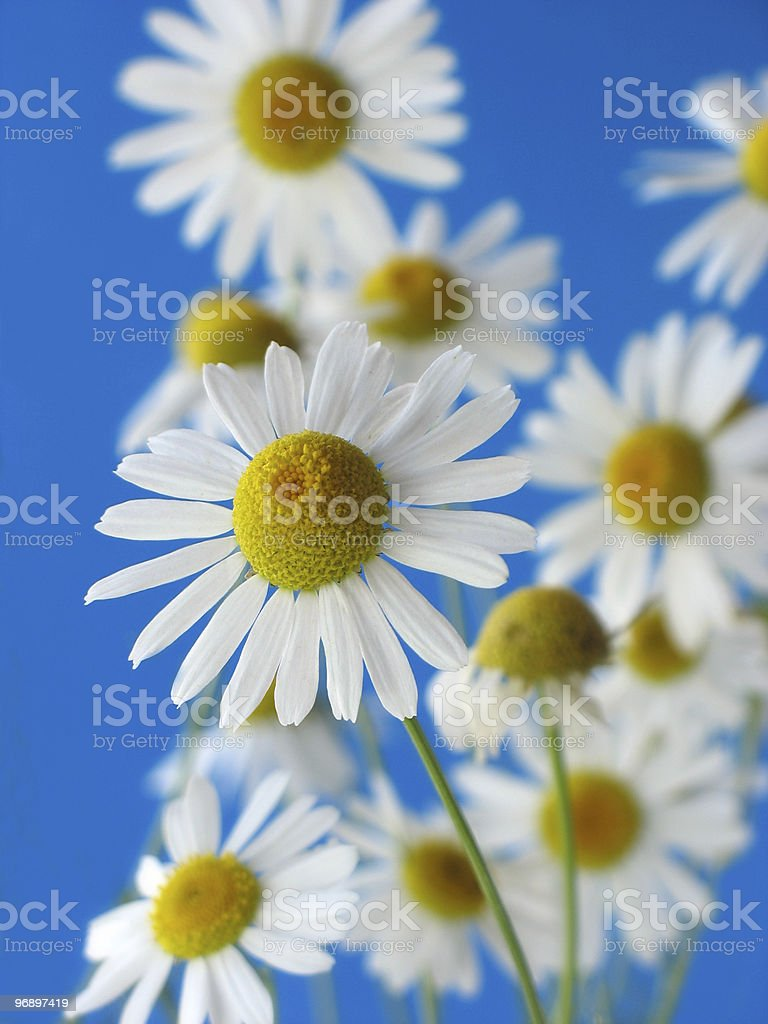 White camomiles on  dark blue background. Summer. royalty-free stock photo