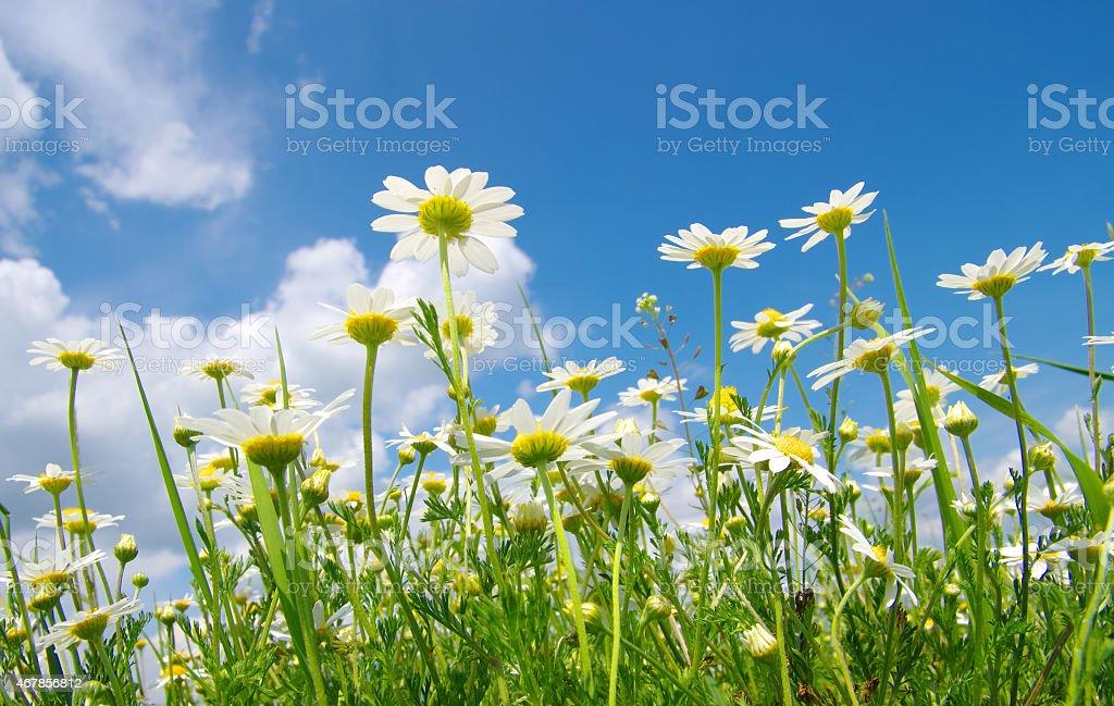 White camomiles stock photo