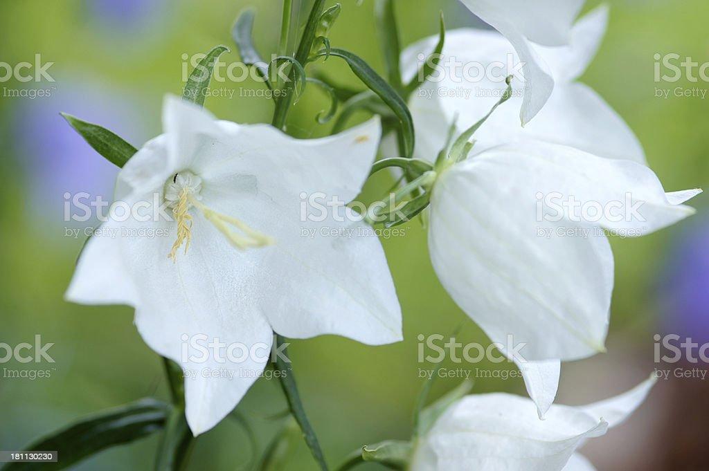 White campanula flowers royalty-free stock photo