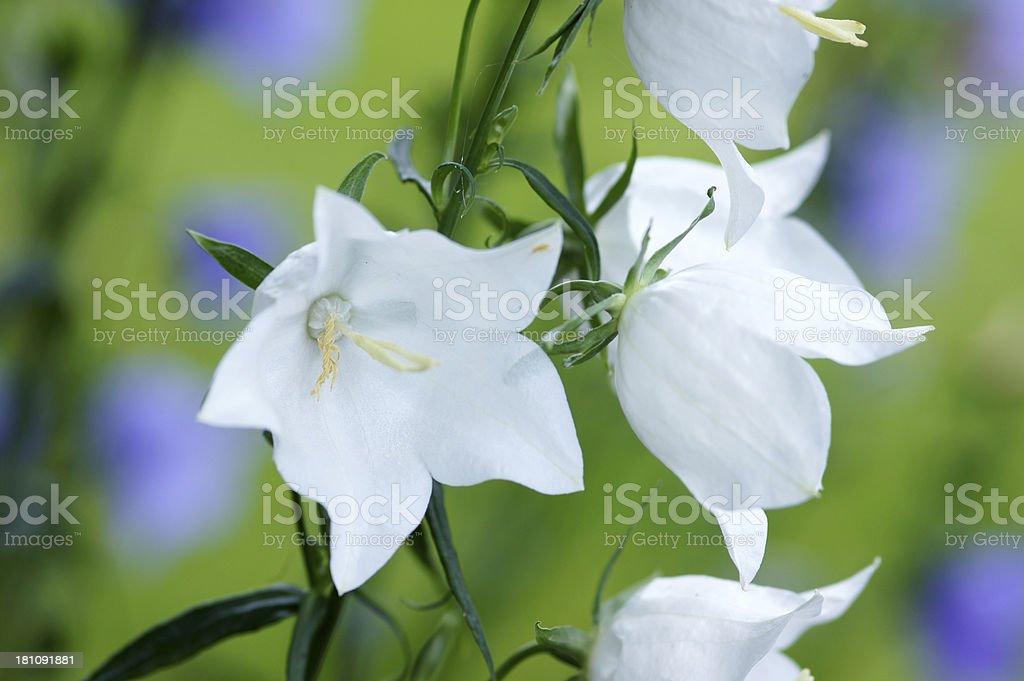 White campanulla flower royalty-free stock photo
