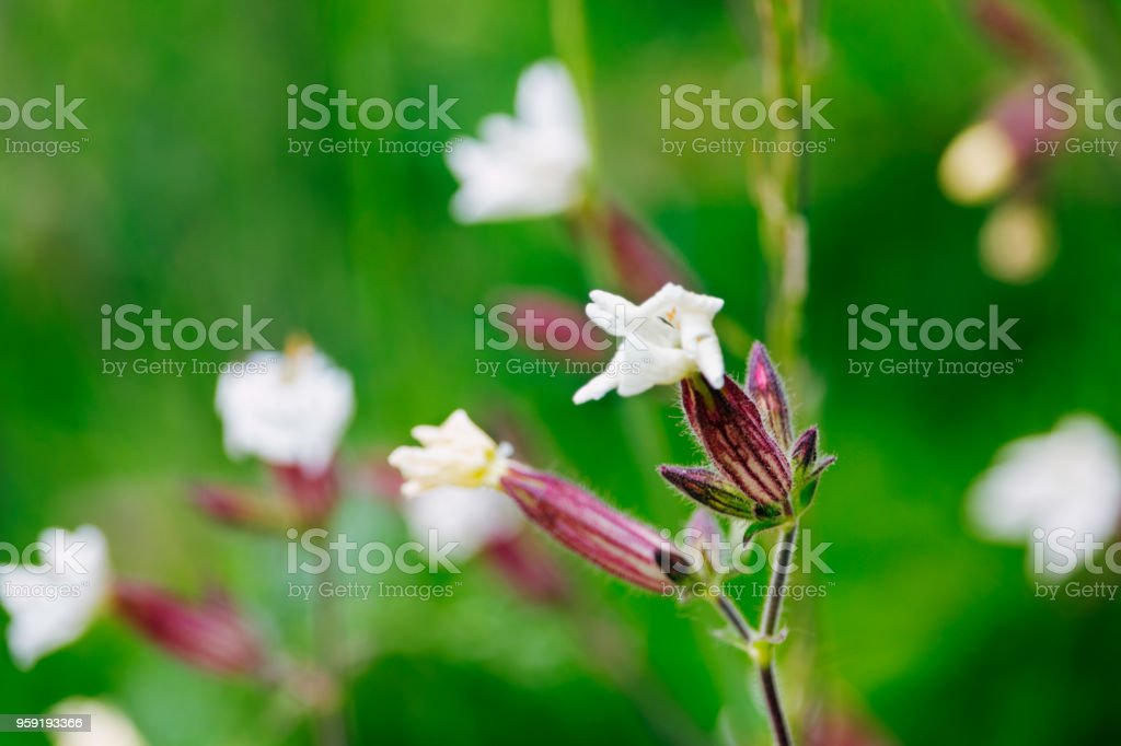 White campion-silene latifolia-in a field stock photo
