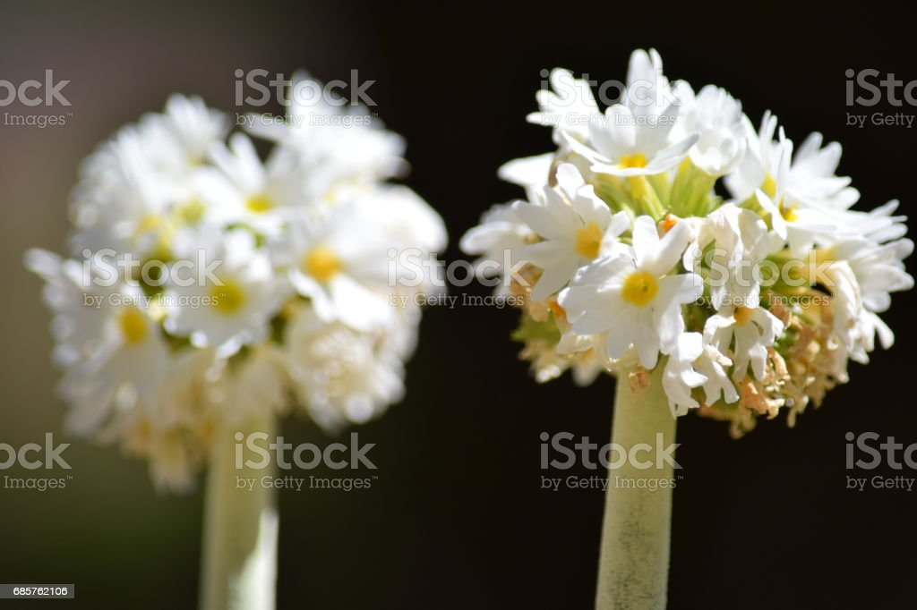 White candellabra primula foto stock royalty-free