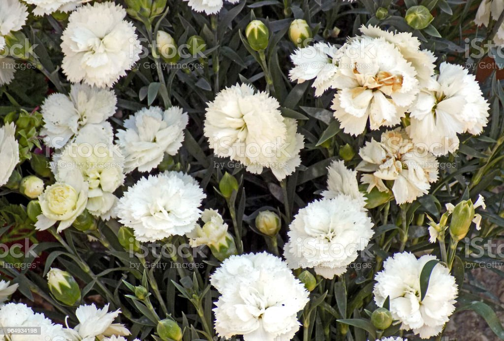 White Carnation Flowers As A Background Stock Photo More Pictures