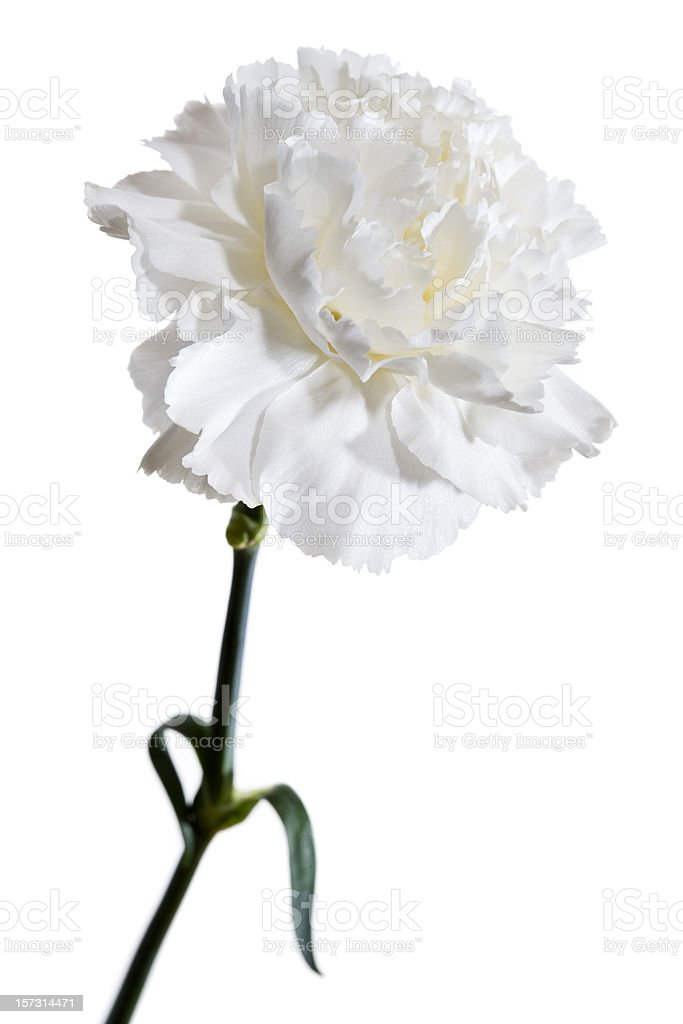 White Carnation Stock Photo & More Pictures of Carnation - Flower ...
