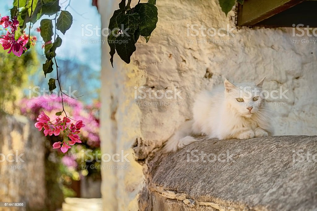 White Cat and Pink Bougainvilleas in Datca, Turkey stock photo