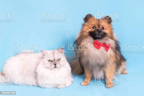 White cat and spitz dog together looking at camera isolated on blue picture id925597250?b=1&k=6&m=925597250&s=612x612&h=ywgtkymivattk85w1sydzhxvzmwoyaerrqsrctfpqja=