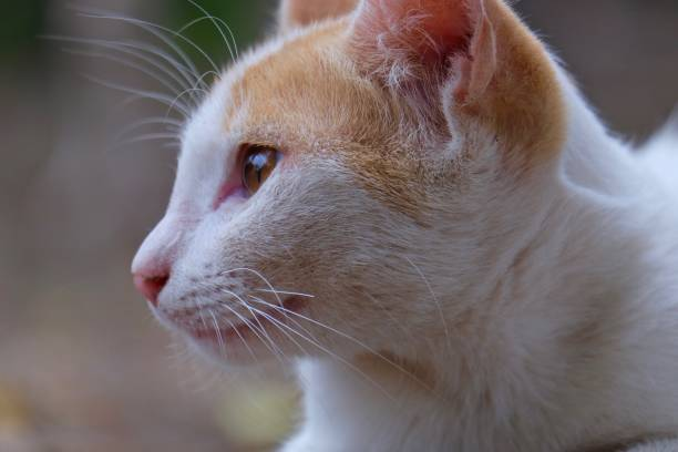 White cat close up picture id1046624858?b=1&k=6&m=1046624858&s=612x612&w=0&h=hjmyslhsrvg tkwf7kqs zqtoetsiv1xkbe7bpeoqua=