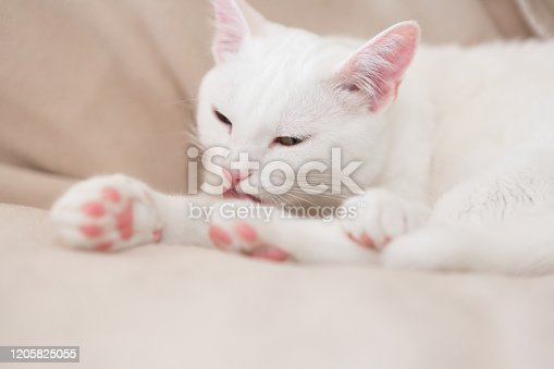 clean white cat,  pink paws, is grooming, closeup