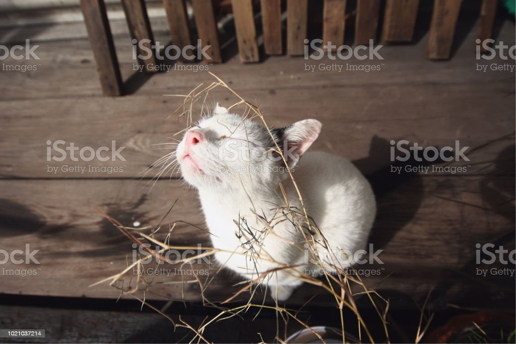 White Cat Happy with dry grass in the pot on the wooden terrace in...