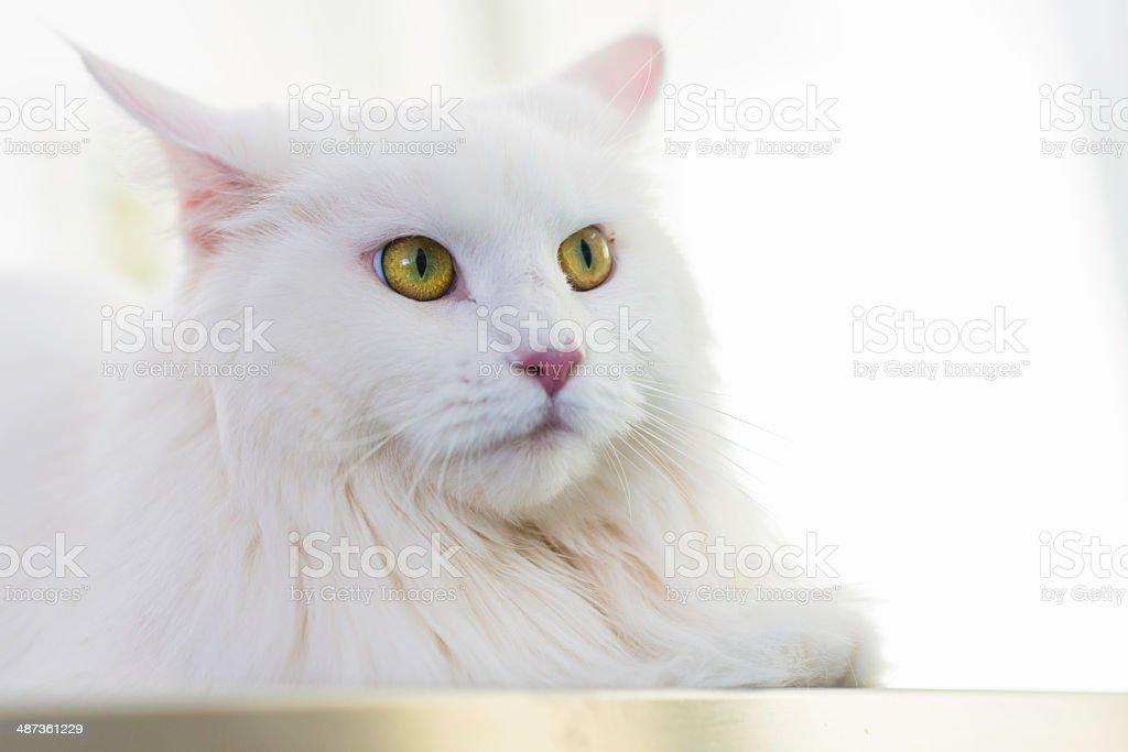 Biały Kot W Lecznica Dla Zwierząt Stockowe Zdjęcia I Więcej