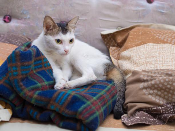Gato branco deitado no cobertor - foto de acervo