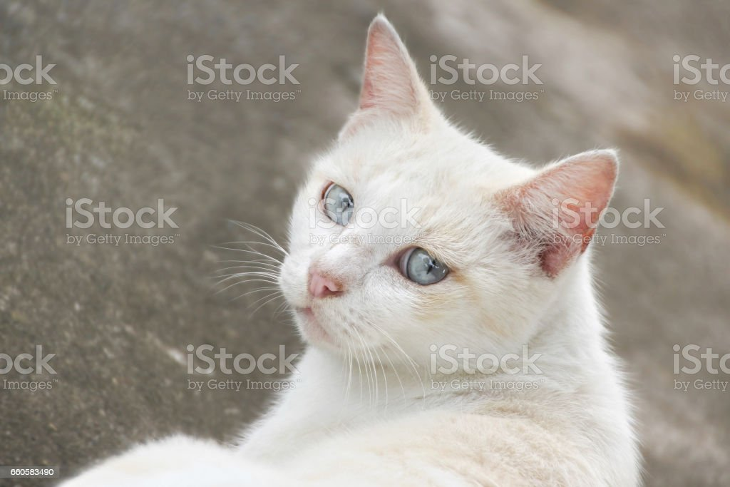 White cat laying, two eyes looking. royalty-free stock photo