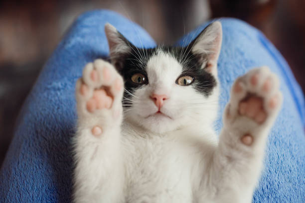 white cat lies on woman's knees - cat стоковые фото и изображения