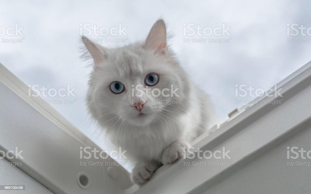 white cat look zbiór zdjęć royalty-free