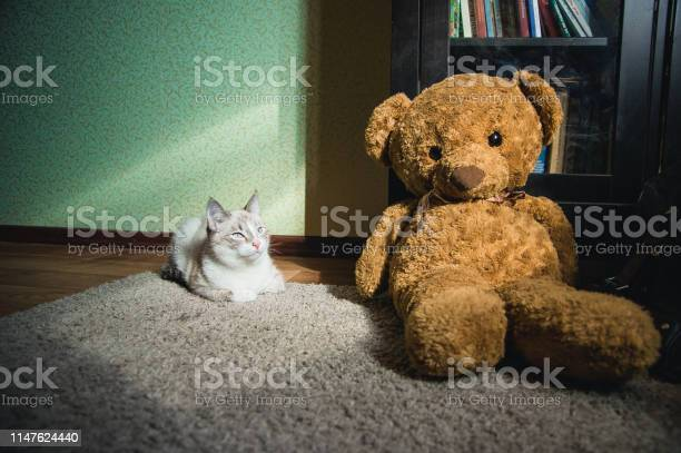 White cat lying on a carpet in square of light with teddy bear and a picture id1147624440?b=1&k=6&m=1147624440&s=612x612&h=wdu6kse2zkxieonk ad7xsbv3fplhwjmc1zhjynl 4w=