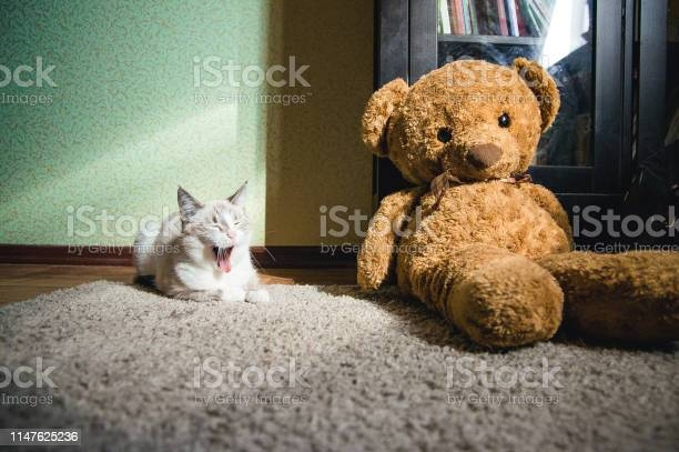 White cat lying on a carpet in square of light with teddy bear and a picture id1147625236?b=1&k=6&m=1147625236&s=612x612&h=rmy4 jeabh7eo2kbd59 knxflhfer9qrkitakti6b2y=