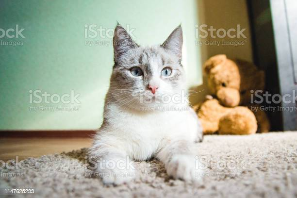 White cat lying on a carpet in the pose of the sphinx looking calm picture id1147625233?b=1&k=6&m=1147625233&s=612x612&h=yj2tv14iwpobeaks556ttopqlcwzraujt wzhfxhicy=
