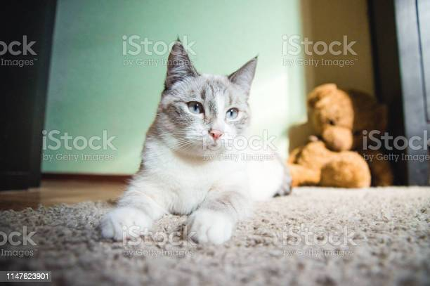 White cat lying on a carpet in the pose of the sphinx looking to the picture id1147623901?b=1&k=6&m=1147623901&s=612x612&h=jhcuo yep qj461e5hmlzvax2x05 pb2 fo3d54kgaq=