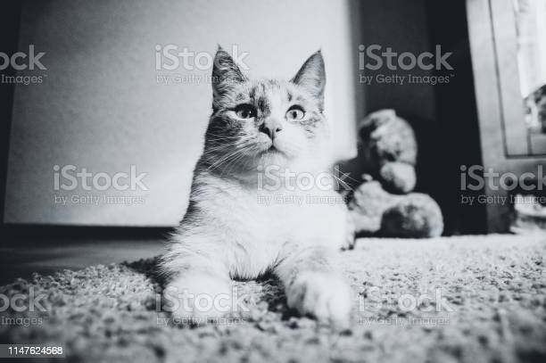 White cat lying on a carpet in the pose of the sphinx looking up and picture id1147624568?b=1&k=6&m=1147624568&s=612x612&h=6 p 9c1qj1g kjoojkqvehny uue4zejdjfwdf7vg4u=