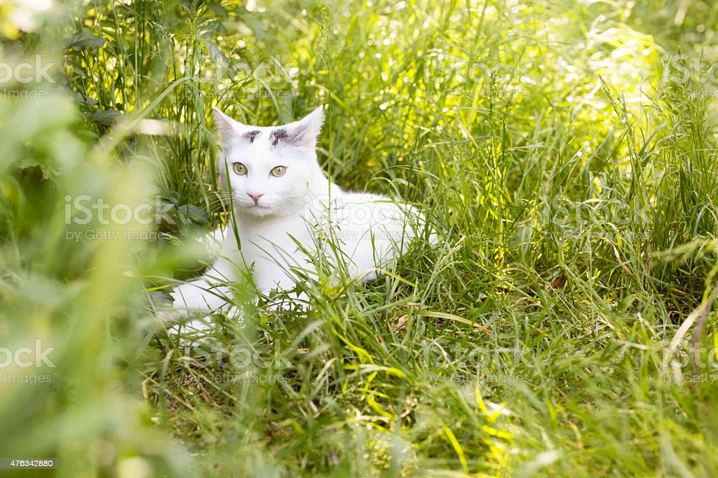 white cat lying outdoors in green grass stock photo