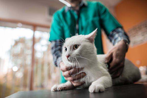 White cat on a medical exam at veterinarian office. stock photo