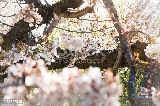 cute white cat relaxing on flowering cherry tree in springtime