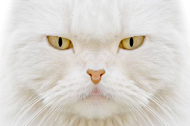 White cat picture id108177444?b=1&k=6&m=108177444&s=612x612&w=0&h=66onouc1zjpcad1ijbsqzw gghrfdwc5f1j o rgxgc=