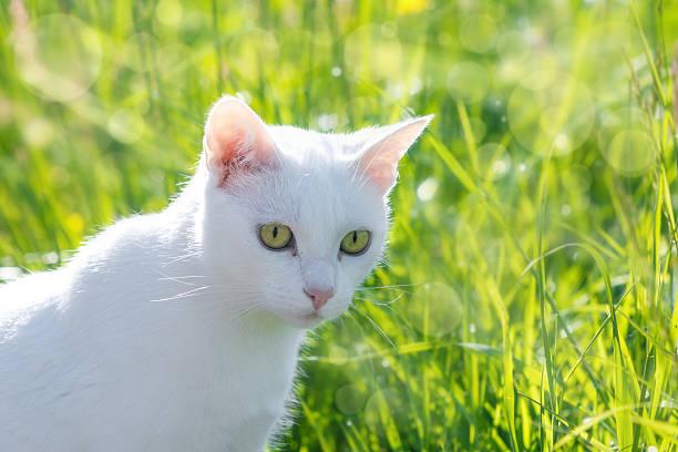 Weiße Katze – Foto