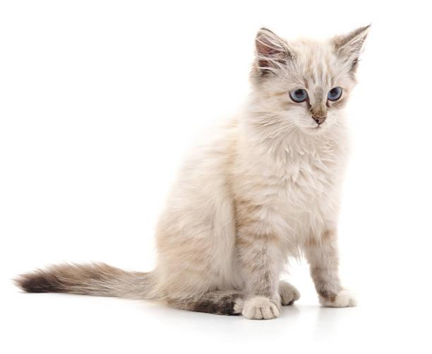 White cat picture id629228020?b=1&k=6&m=629228020&s=612x612&w=0&h=t0 qq3ydebivbbdw7xv2z peejti5 pptsul8jso ay=