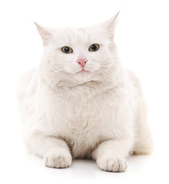 White cat picture id655485390?b=1&k=6&m=655485390&s=612x612&w=0&h=hnefbaeoerv7 zetalju4sq0ing i9yq4p6tora8quc=