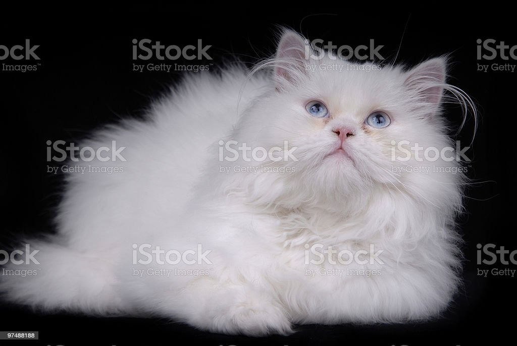 white cat royalty-free stock photo