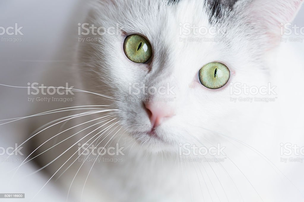 white cat portrait stock photo