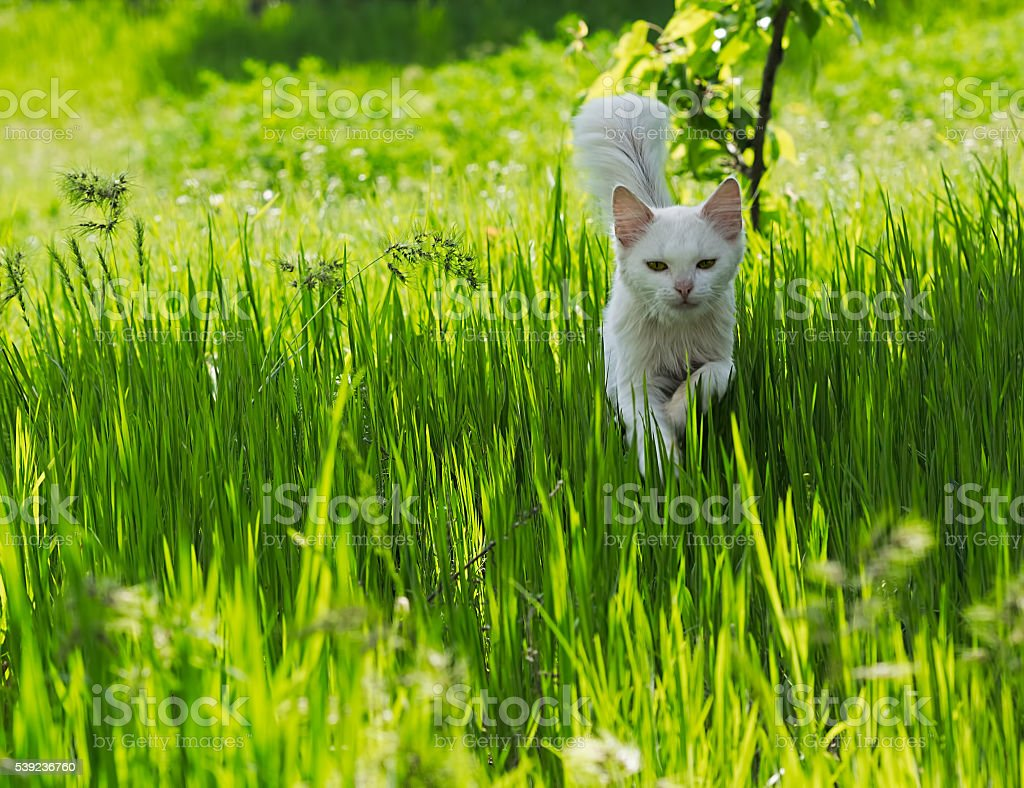 White cat running through the green grass royalty-free stock photo