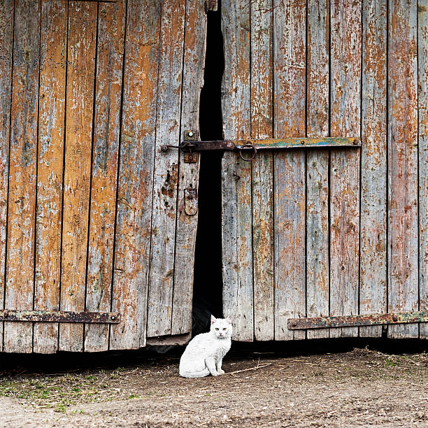 white cat sitting by a barn door stock photo