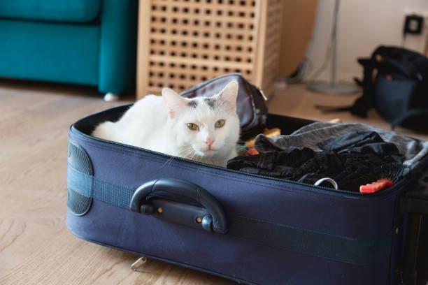 White cat sitting in suitcase picture id1186173311?b=1&k=6&m=1186173311&s=612x612&w=0&h=lypn8f8qvok4o ajr9feqfny1czuu buxv9pxariccc=