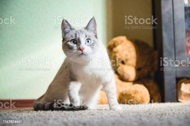 White cat sitting on a carpet with teddy bear on the background up picture id1147624441?b=1&k=6&m=1147624441&s=612x612&h=k2nwjucldjo8nawh  qgpk4xgpchgfxfripgr0k7zdg=
