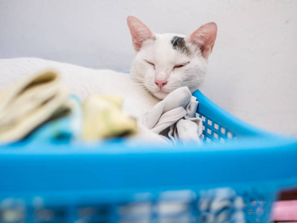 White Cat Sleep on Blue Basket stock photo