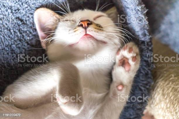 White cat sleeping picture id1191220472?b=1&k=6&m=1191220472&s=612x612&h=dchqnw4ovn4ow8odzby54xvzd0yavvjcfvfu8pu4ani=
