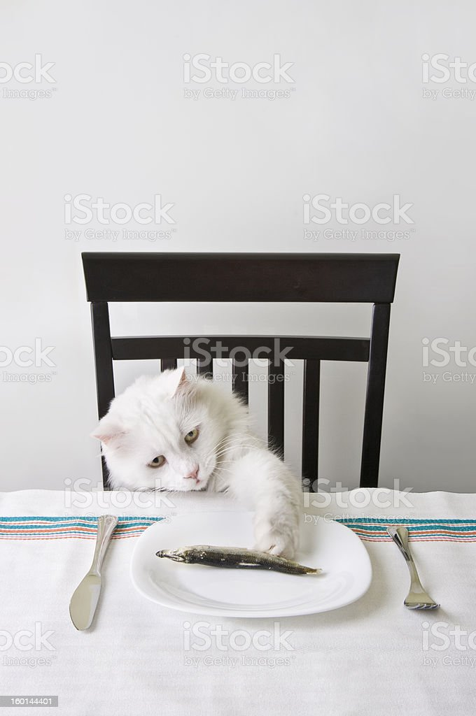 White cat snatch a fish stock photo