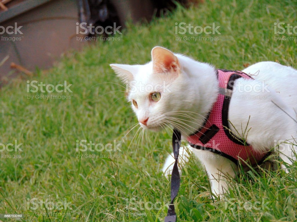 White cat taking a walk outside on a harness stock photo