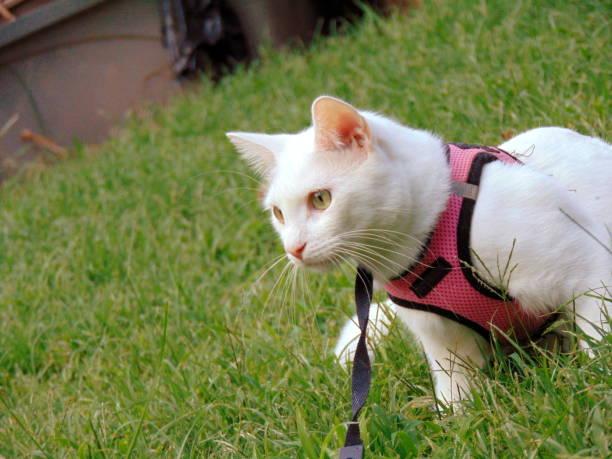 weiße katze, die einen spaziergang draußen auf einem geschirr - katzengeschirr stock-fotos und bilder