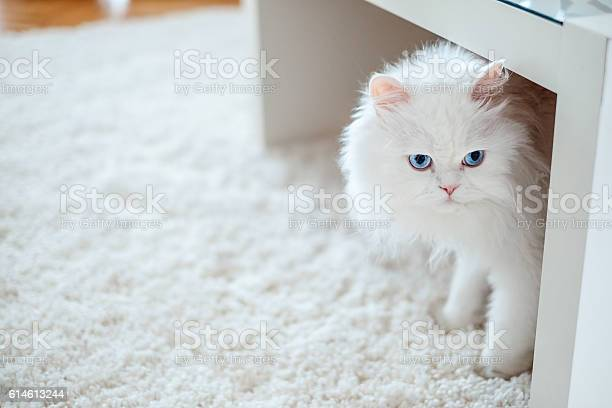 White cat under the table picture id614613244?b=1&k=6&m=614613244&s=612x612&h=pkqgoniwf9sfmxjecokyuv9uqu69lsvr6k8tyxrlk8s=