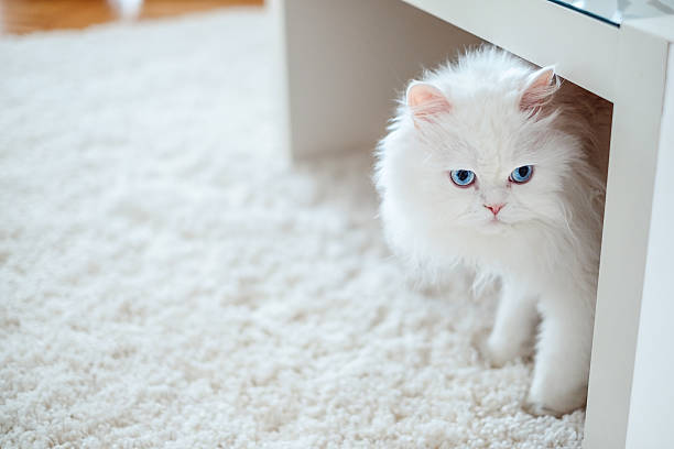 White cat under the table stock photo