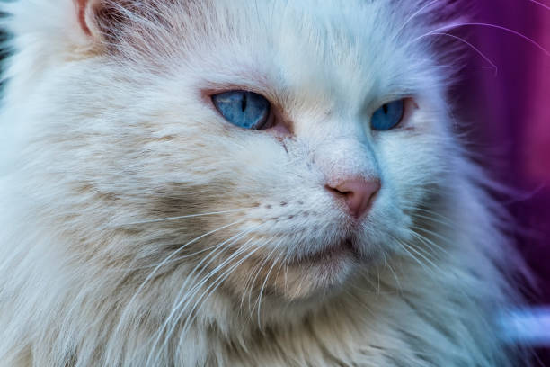 White cat with an experienced look. Unkind Maine Coon white cat stock photo