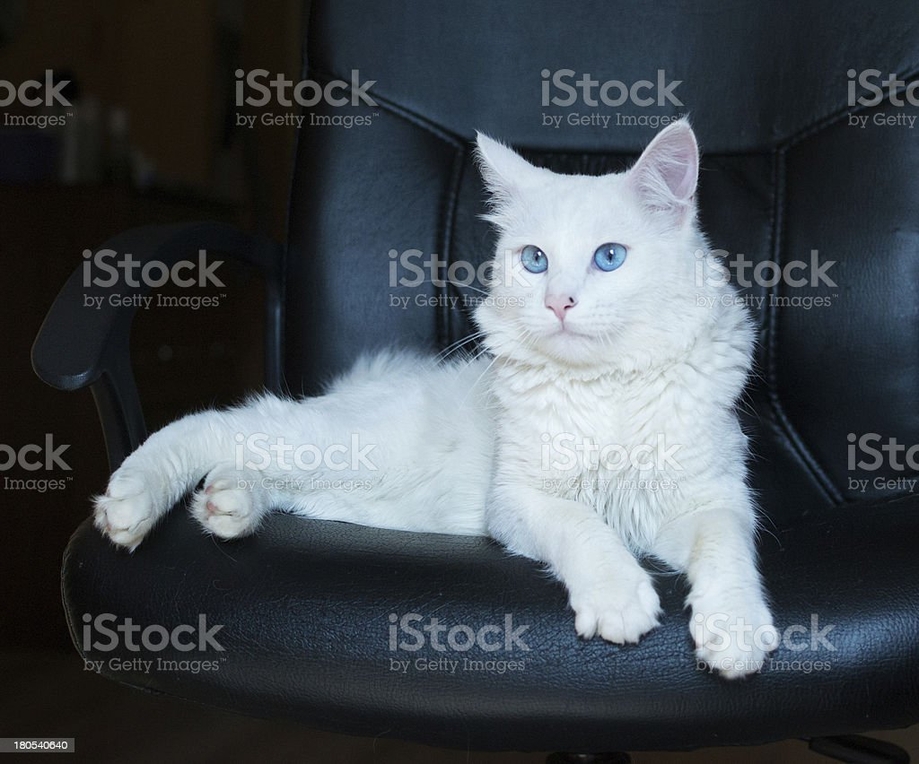 White Cat With Blue Eyes Stock Photo Download Image Now Istock