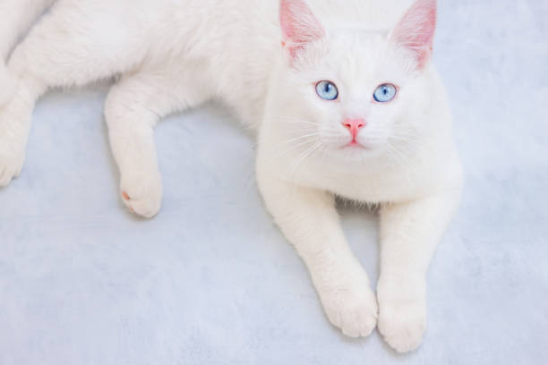 White cat with blue eyes starring at camera picture id1207151145?b=1&k=6&m=1207151145&s=612x612&w=0&h=uvuhlo057cse2hrvnmhu3kk07ppoeke7viofcjst4po=