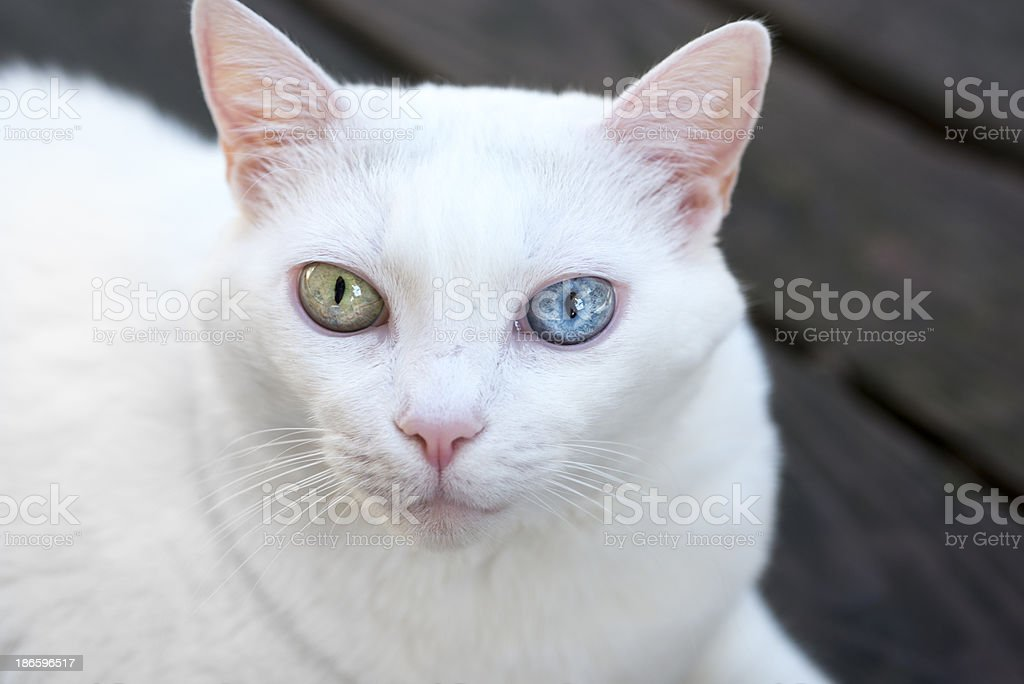 White Cat With Both Blue and Green Eye royalty-free stock photo