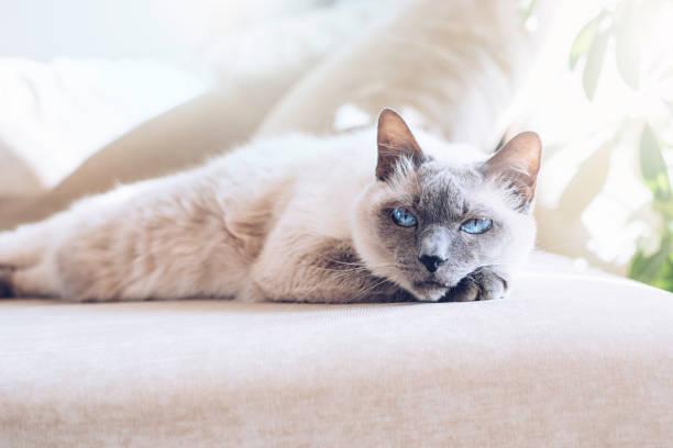 White cat with dark muzzle picture id1217587965?b=1&k=6&m=1217587965&s=612x612&w=0&h=hygcjd9hyv ks2fls td5r300vhoexlqe9oyqyoz fw=
