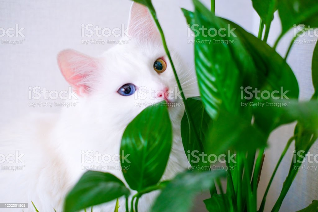 White cat with different color eyes hides behind a green plant. Turkish angora eats peace lily green leaves in living room. Domestic pets and houseplants White cat with different color eyes hides behind a green plant. Turkish angora eats peace lily green leaves in living room. Domestic pets and houseplants. Animal Stock Photo